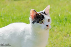 Treacle (parry101) Tags: pet cats pets animal animals cat treacle