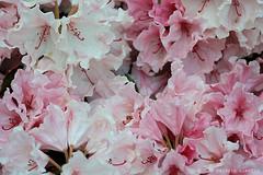 L1008729 (LaBonVampire) Tags: leica flowers nature zeiss carlzeiss zm leicam8 teletessart485 teletessar85