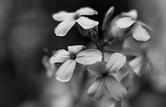 Dominating The Night (AnyMotion) Tags: flowers blackandwhite bw plants nature floral petals blossom bokeh frankfurt natur pflanzen blumen sw blte bltenbltter 6d 2016 damesrocket anymotion canoneos6d weisenachtviole hesperismatronalisalba