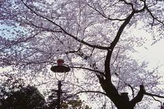 Branch off () Tags: japan tokyo  sakura  mitaka hanami contaxt2    studioghiblimuseum fujifilmvelvia100f sonnar38mmf28