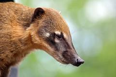 Snookum Bear aka Coatis (katemariaantoniazzi) Tags: bear up nose high close sniffing emerging def pizotes coatis snookum
