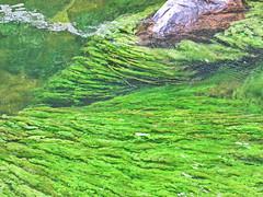 Cao Cristales, La Macarena (jjrestrepoa (busy)) Tags: colombia meta lamacarena caocristales podostemaceae macareniaclavigera parquenacionalnaturalserraniadelamacarena
