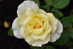 Pale rose with raindrops (stevelamb007) Tags: flower rose raindrops garden illinois chicagobotanicgarden stevelamb nikon d7200 nikkor18200mm nature