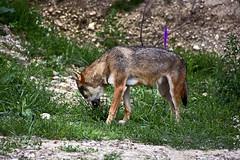 Loup Gris (Diegojack) Tags: nikon nikonpassion d7200 garenne zoo parc animalier levaud loup gris