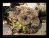 WAItriddacna-squamosa2665 (kactusficus) Tags: hawai hawaii hawaiian hawaiien aquarium waikiki honolulu reef tridacna squamosa clam benitier