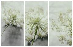 Queen Annes lace (Marissen) Tags: apiaceae daucuscarota queenanneslace umbelliferae vildgulerod wildcarrot collage triptych