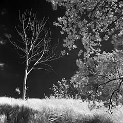 Sandbanks Provincial Park (Howard Sandler (film photos)) Tags: sandbanks ontario infrared ir film blackandwhite monochrome mediumformat bronica sqa zenzanon xtol