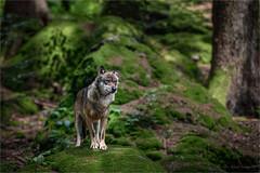 Canis lupus (klaus.huppertz) Tags: neuschnau natur nature wolf canislupus canis sugetier mammalian outdoor tele telephoto lupo isegrim canidae 300mmf28gvrii 300mm bayerischerwald naturpark naturparkzentrumlusen nikon nikond750 d750 nikkor tierfreigehege freigehege tiergehege tierpark wildlifepark wildpark openairenclosure outdoorenclosure nationalpark nationalparkbayerischerwald nikkor300mm28 afsteleconvertertc20eiii teleconverter bavarianforest tier animal raubtier altschnau predator beastofprey autofocus wow fantasticnature spiritofphotography nikonafsvrnikkor300mmf28gifed nikonflickraward vignetting