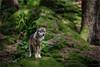Canis lupus (klaus.huppertz) Tags: neuschönau natur nature wolf canislupus canis säugetier mammalian outdoor tele telephoto lupo isegrim canidae 300mmf28gvrii 300mm bayerischerwald naturpark naturparkzentrumlusen nikon nikond750 d750 nikkor tierfreigehege freigehege tiergehege tierpark wildlifepark wildpark openairenclosure outdoorenclosure nationalpark nationalparkbayerischerwald nikkor300mm28 afsteleconvertertc20eiii teleconverter bavarianforest tier animal raubtier altschönau predator beastofprey autofocus wow fantasticnature spiritofphotography nikonafsvrnikkor300mmf28gifed nikonflickraward vignetting bestcapturesaoi elitegalleryaoi ngc naturesfinest
