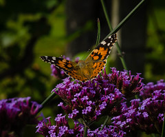 Painted Lady (frankmh) Tags: animal insect butterfly paintedlady sofierocastlegarden helsingborg skne sweden outdoor
