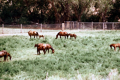 34-210 (ndpa / s. lundeen, archivist) Tags: nick dewolf nickdewolf color photographbynickdewolf 1970s 1973 film 35mm 34 reel34 utah southwestutah southwesternunitedstates zionnationalpark nationalpark animal animals horse horses field grazing fence ranch