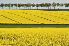 Graphisme en Beauce (Hélène Quintaine) Tags: france nature fleur jaune perspective vert arbre champ ligne tronc beauce diagonale alignement graphisme colza essonne horizontale