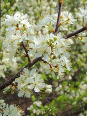 DSCN3151 (Bubash) Tags: flowers wisconsin spring blooms floweringplum