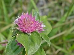 Gomphrena serrata L. (carlos mancilla) Tags: madroño amorseco olympussp570uz amordesoltero gomphrenaserratal