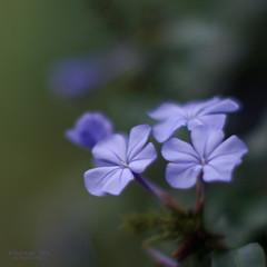 Mauve & dainty (OzzRod) Tags: flowers plants square pentax bokeh mauve smcpentax50mmf12 k5iis