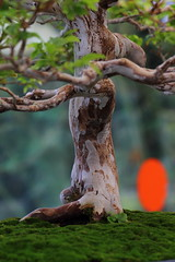 Us par le temps (StephanExposE) Tags: arbre tree bonsai miniature mini nature japon japan paris iledefrance france parc parcfloraldeparis jardin plantes canon 600d 100mm 100mmf28lmacroisusm stephanexpose