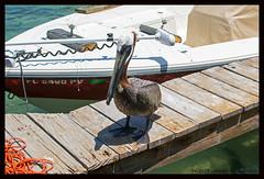 0075b_Robbies_Pelican IX (xlod) Tags: bird nature water animal wasser florida natur pelican pelikan islamorada floridakeys tier vogel