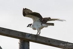 Male Osprey ready to fly
