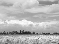 Dreamy clouds over wheat fields (Nadia Rifaat) Tags: sky blackandwhite cloud nature monochrome field clouds landscape countryside nikon outdoor wheat egypt coolpix fields         menoufia    l830