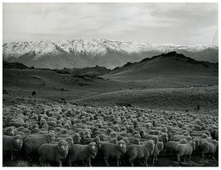 Sheep Mustering at Bendigo Station, Otago (1965)
