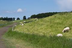 Oude dijk met schapen (Jeroen Hillenga) Tags: sheep groningen dijk polder dike landschap schapen polderlandschap demarne vierhuizen middendijk oudezeedijk kerkvoogdijpolder