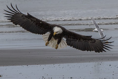 Eagle (JME_Photos) Tags: raptors distinguished