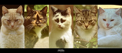 Catography (Schynts Photography) Tags: pet film beautiful animals collage cat photoshop effects chats high flickr gallery view good wide large social screen follow retro led cc adobe page network hd lightroom catography defintion schyntsphotography