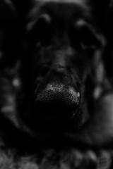 Artoo - 21.5 Weeks Old (MorboKat) Tags: dog pet toronto cute animal mammal shepherd canine germanshepherd alsatian animalia mammalia carnivore dsh gsd germanshepherddog purebred schferhund canis carnivora canislupus domesticdog canisfamiliaris canidae bergerallemand purebreed canislupusfamiliaris deutscherschferhund purebreddog alsatianwolfdog