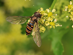 Episyrphus balteatus (Tim Worfolk) Tags: hoverfly syrphidae topsham episyrphusbalteatus