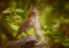 Tubular Bells (kathybaca) Tags: wood male bird nature beautiful birds animal forest fly song earth feathers spots sing planet endangered lovely critical thrush deforestation woodthrush