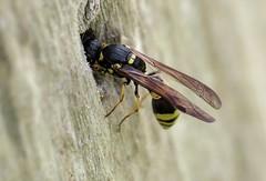 Symmorphus gracilis f - 12 V 2016 (el.gritche) Tags: hymenoptera france 40 vespidae eumeninae symmorphus gracilis symmorphusgracilis nest beehotel wasp guepe