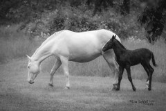 Mom and foal (Lesfstl) Tags: horse mare missouri wildhorses foal shannoncounty
