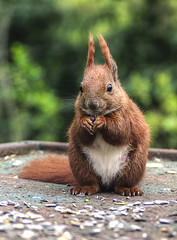 Greedy squirrel (r.brownlow) Tags: red cute nature animal squirrel eating fluffy