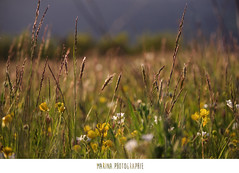 #36 (Les photographies de Marina) Tags: france flower nature fleur pentax printemps champ hauteloire youngsphotographers projet365 jeunephotographe pentaxkr