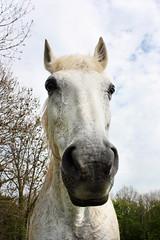 (Mariie76) Tags: portrait nature cheval gris bleu ciel animaux blanc verdure museau quid