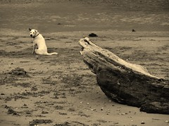 look at me please... (SM Tham) Tags: bali dog beach monochrome sepia indonesia outdoors island sand asia driftwood treetrunk sanur