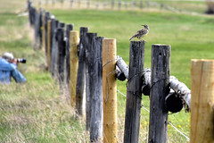 Watching (crowt59) Tags: bird nikon photographer hole wildlife watching jackson wyoming meadowlark d810 crowt59 nikonflickraward