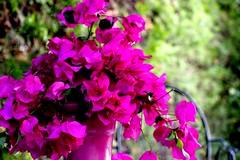 Flores y macetero (camus agp) Tags: espaa canoneos malaga marbella bougainvilleas