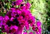 Flores y macetero (camus agp) Tags: españa canoneos malaga marbella bougainvilleas