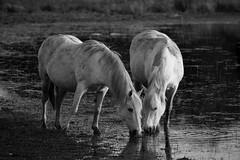 White Horses (mnicol13) Tags: horses white black blanco nature water moulin nikon eau noiretblanc riviere negro lac bretagne armor neuf tang bzh ctes cheveaux d3200 plounrin