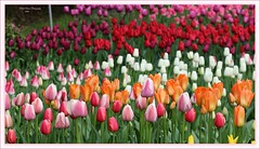 joy to color my world! (MEA Images) Tags: flowers nature gardens canon washington flora tulips parks blooms mountvernon skagitvalleytulipfestival roozengaarde picmonkey
