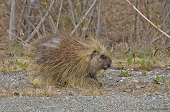 A Prickly One (jack4pics) Tags: alaska rodent porcupine quills