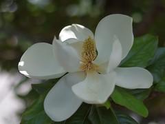 Southern Magnolia (bamboosage) Tags: macro with cosina mc 12 55 vivitar teleconverter 2x focusing