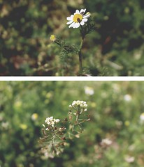 nature&stuff (ConcreteLies) Tags: flower green nature grass bug insect weeds diptych chamomile
