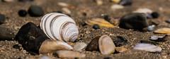 Mulling Over Molluscs (Denis Moynihan) Tags: ireland sea dublin shells texture beach nature strand sand dof stones tide details shore fingal donabate beachstrand