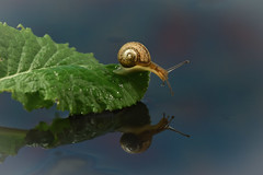hmmm, not so bad this morning (simo m.) Tags: nature water mirror snail reflction