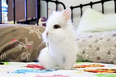 Matilda (Neus Martnez) Tags: pet pets rabbit bunny bunnies blanco animal animals conejo animales rabbits mascota mascotas hembra conejos