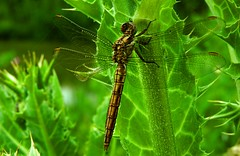 drogonfly (bilal gldoan) Tags: animal animals insect nikon dragonflies dragonfly outdoor coolpix p600