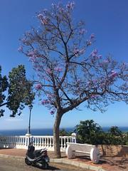 Jacaranda tree in Maro (juliavhill) Tags: tree spring spain purple jacaranda andalusia springtime nerja maro