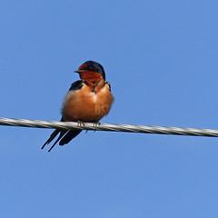 Barn Swallow (annkelliott) Tags: canada male bird nature birds spring wire outdoor alberta perched swallow barnswallow ornithology avian hirundorustica frontview orderpasseriformes passerine familyhirundinidae annkelliott anneelliott swofcalgary fz200 genushirundo fz2003 11june2016